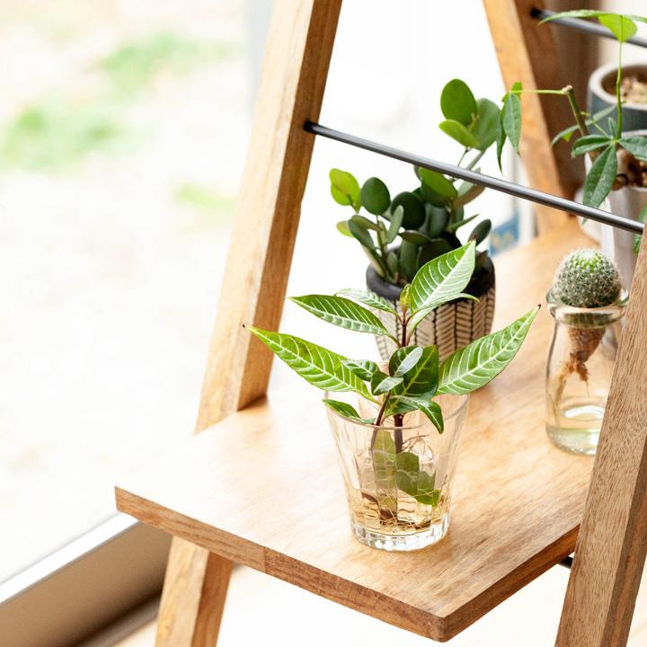 コーヒーの木を花台に飾ったイメージ