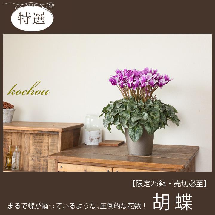 ブルーシクラメン・胡蝶(コチョウ)