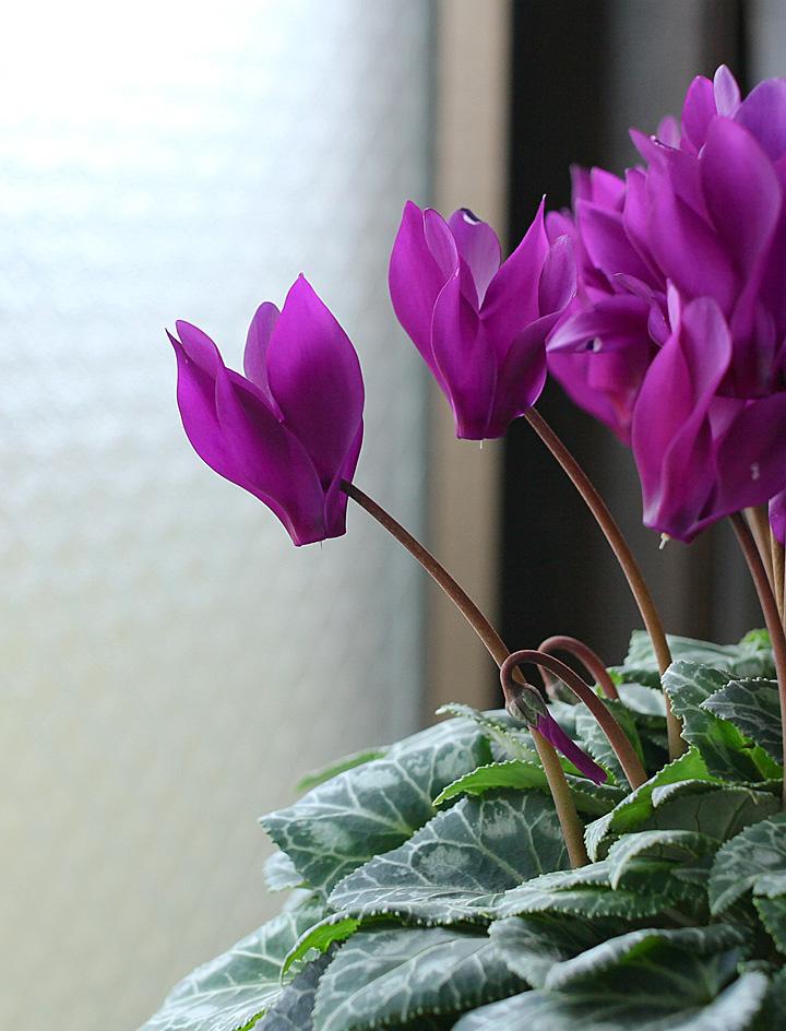 シクラメンの花の表情