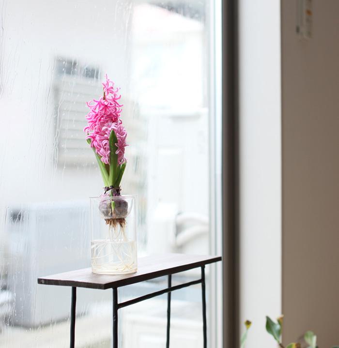 ヒヤシンスの開花をリビングで