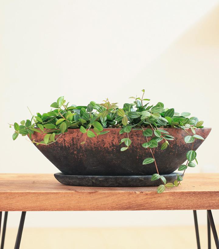 舟形鉢に植えたペペロミア・アングラータ
