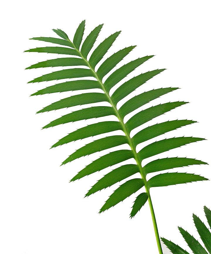 ディオーンの葉