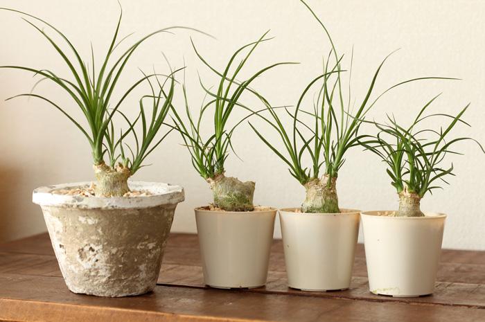 インテリアに合わせやすい植物