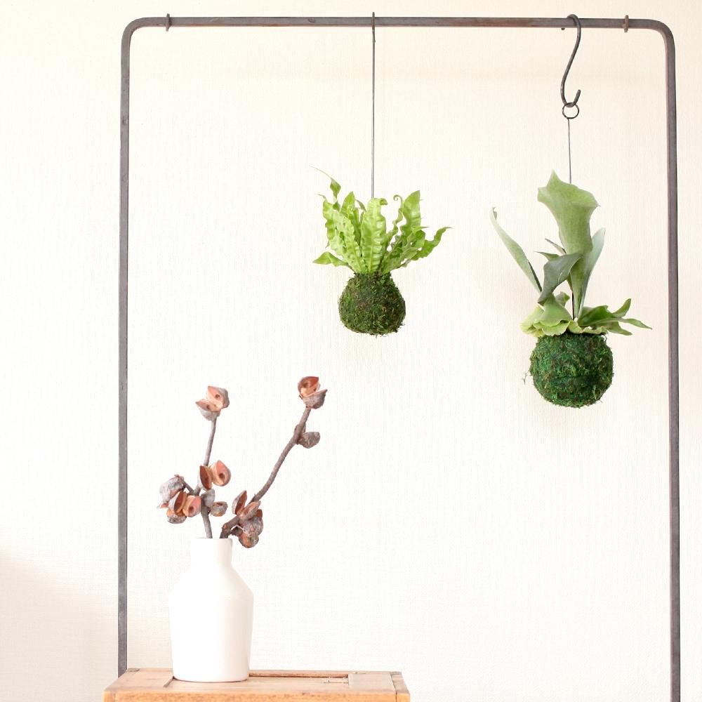 他の植物とも相性抜群エメラルドウェーブの苔玉