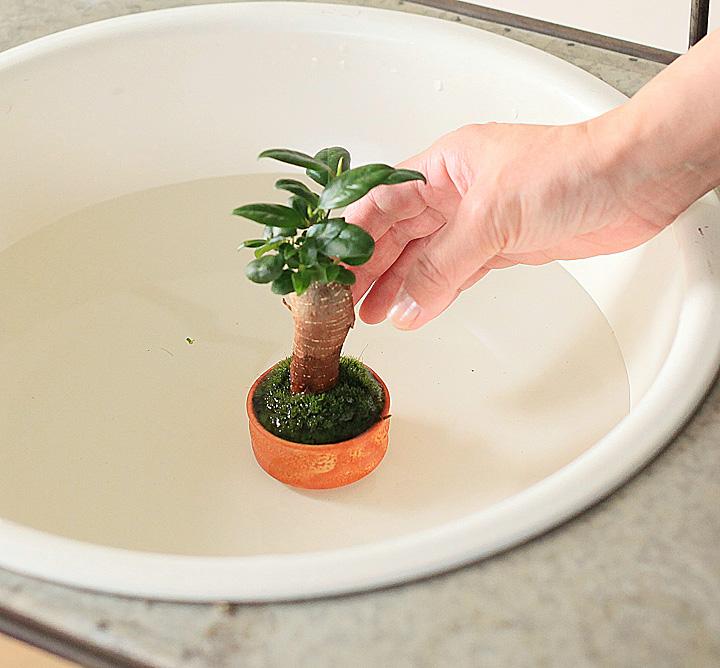 苔の水の与え方