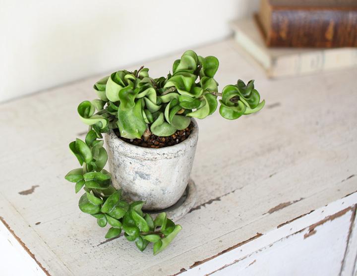 ホヤを化粧鉢に植え替えたイメージ