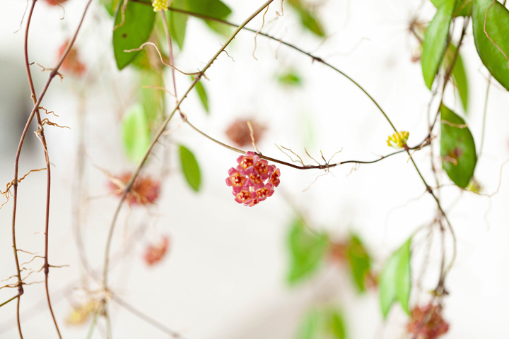 ホヤ・ロシータの花