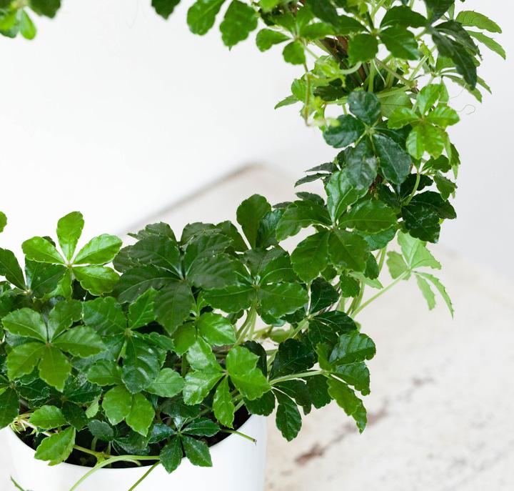 シュガーバインの葉
