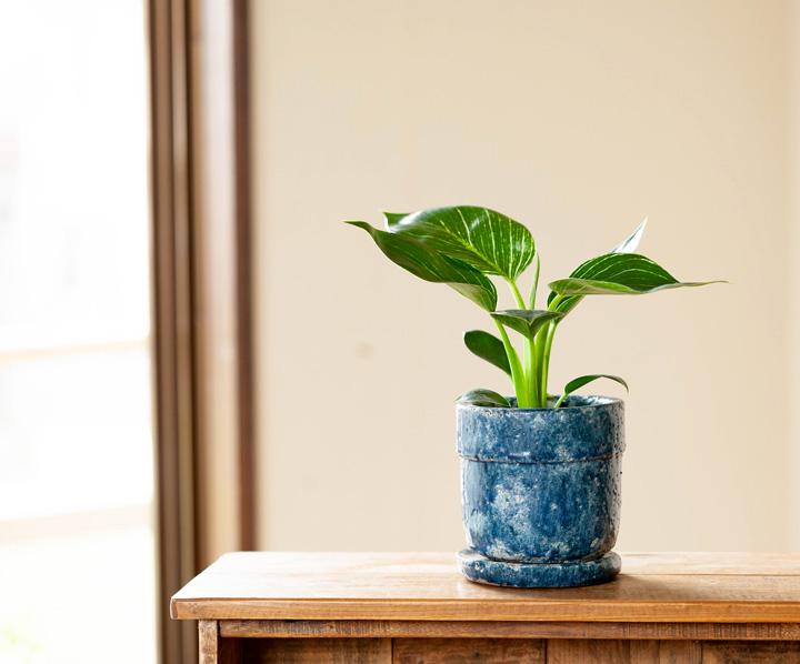 観葉植物 バーキン