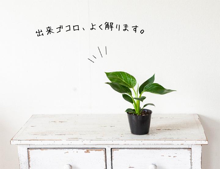 植物 バーキンの苗