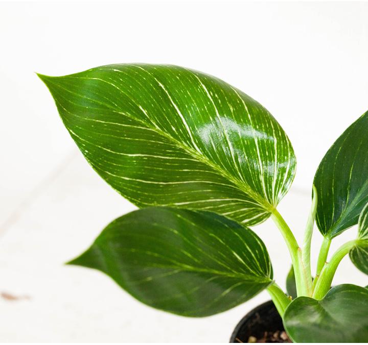 フィロデンドロン・バーキンの葉