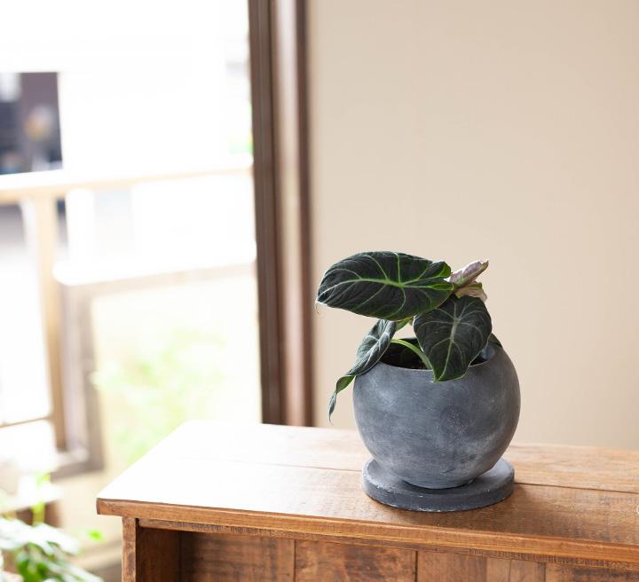 アロカシア黒を陶器鉢に