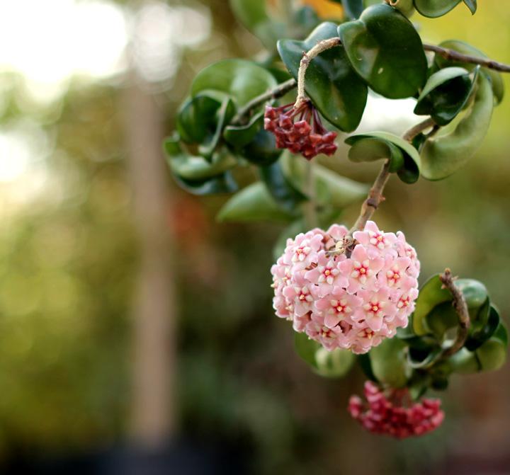 ホヤ・カルノーサ 花