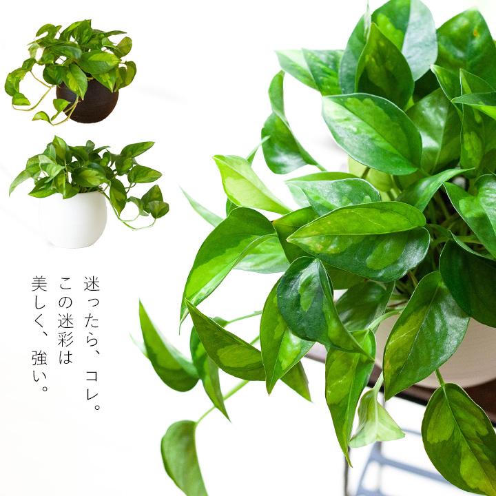 ポトス・グローバルグリーン