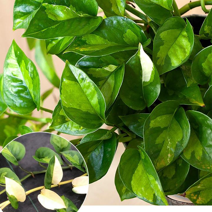 ポトスグローバルグリーン・白斑