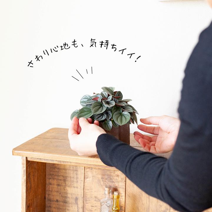 観葉植物ペペロミアナポリナイツ