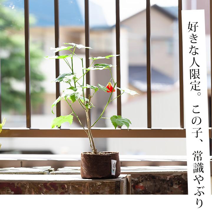 アブチロン 盆栽