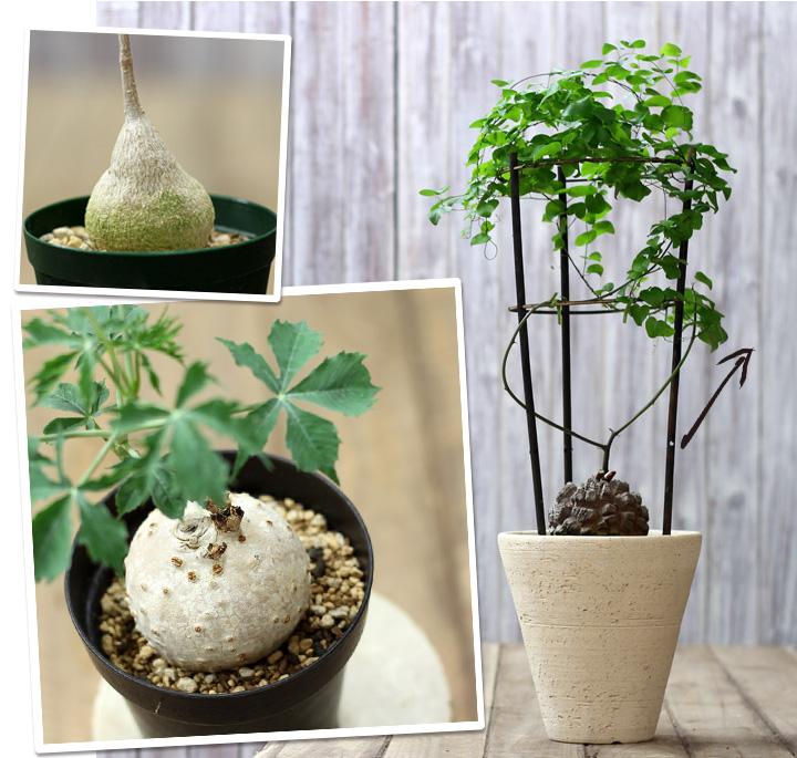 ゲラルダンサス 塊根植物について