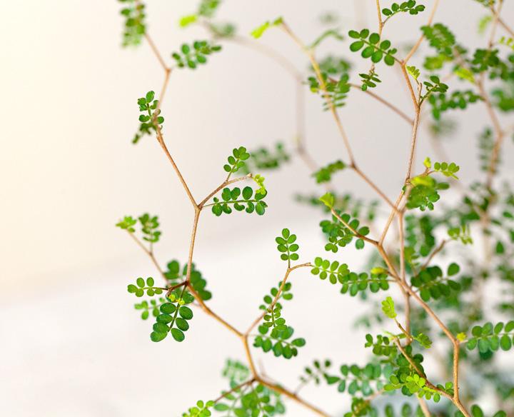 ソフォラの枝葉
