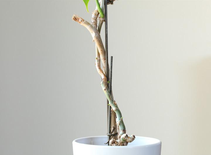 幹が木質化