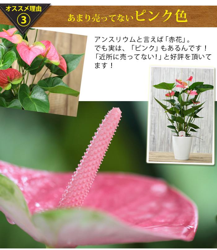 ピンクのアンスリウム