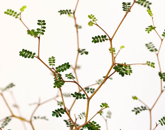 ソフォラ リトルベイビーの葉
