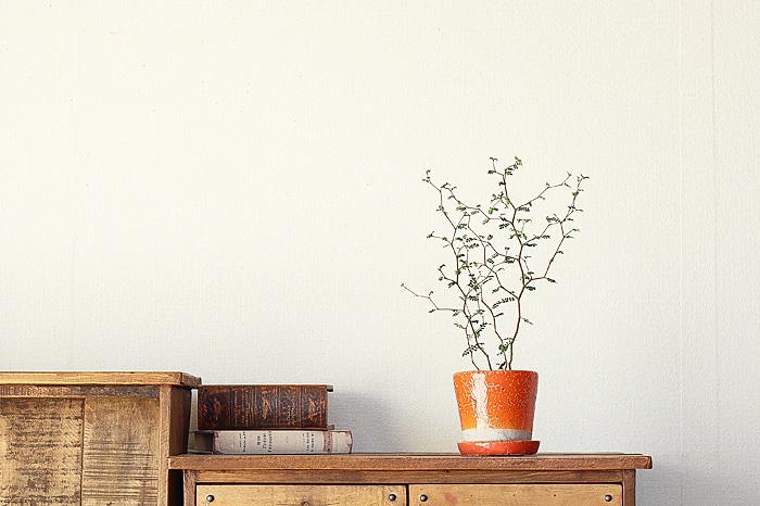 ソフォラ リトルベイビーのオレンジの鉢を飾ったイメージ