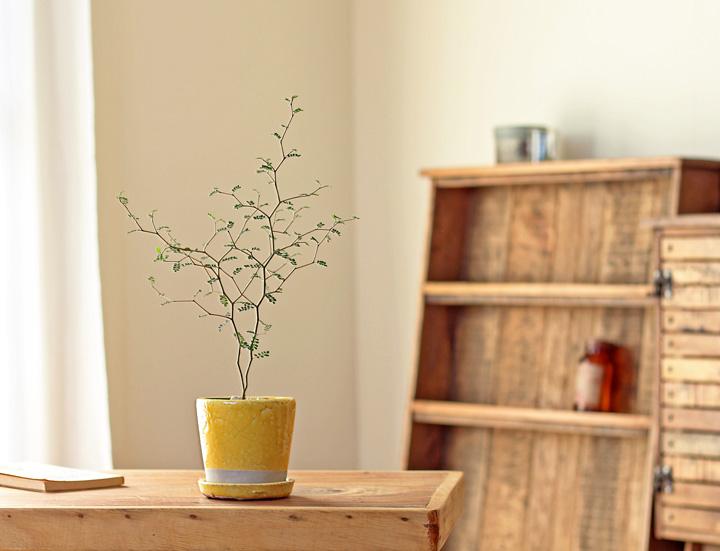 ソフォラ リトルベイビーの黄色鉢