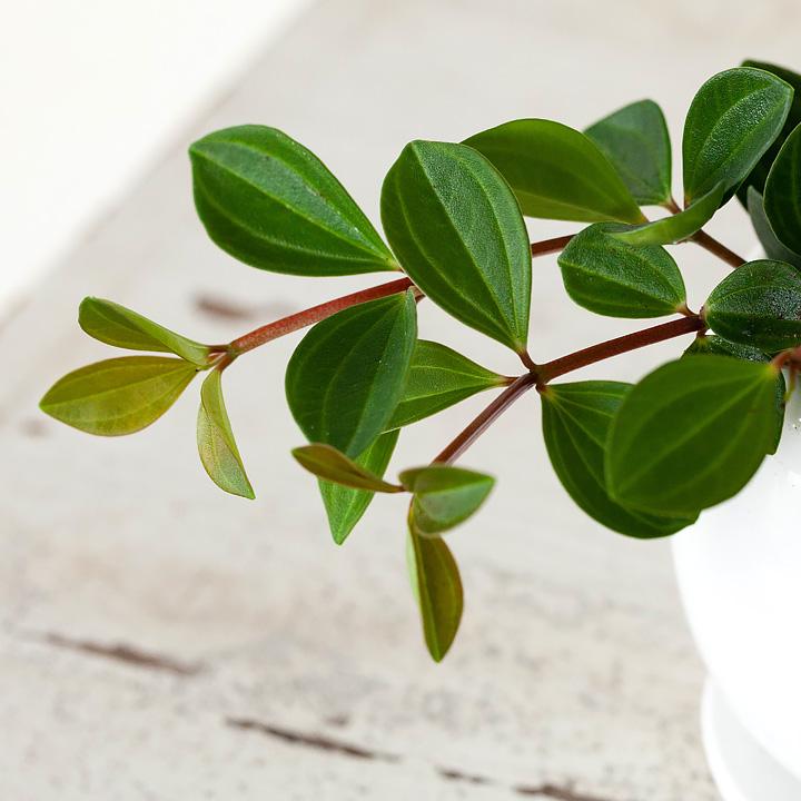 フォレットの葉