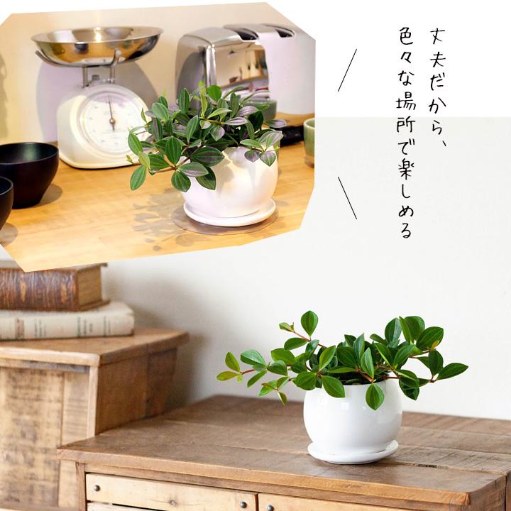 陰に強い観葉植物