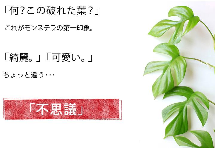 姫モンステラの葉