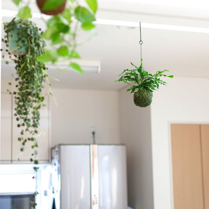 吊るす植物