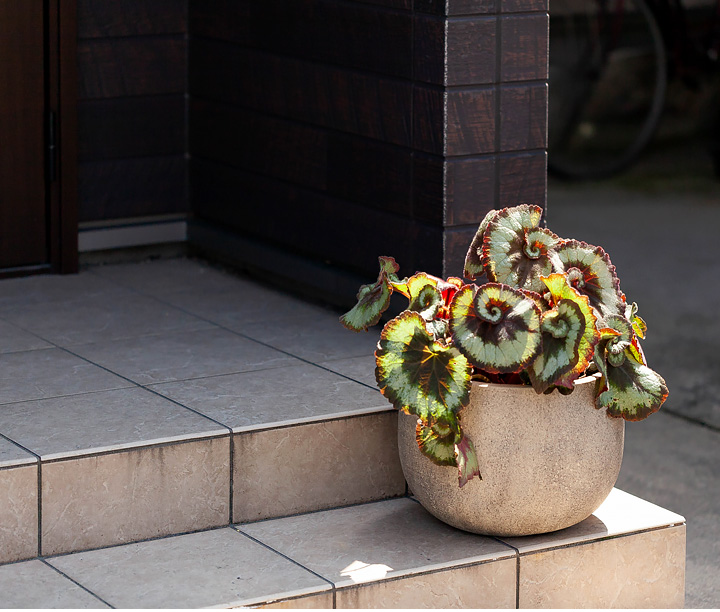 レックスベゴニアを玄関前に飾った写真