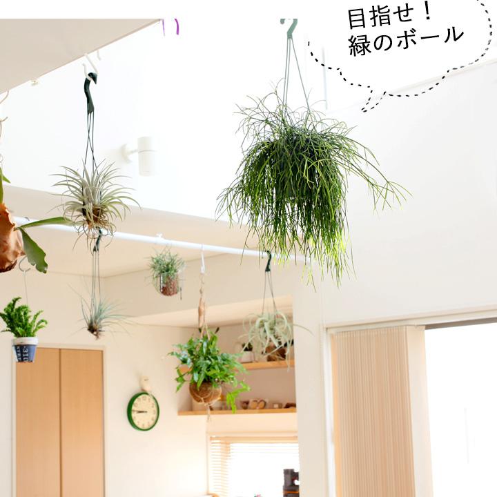 リプサリスを部屋に飾ったイメージ