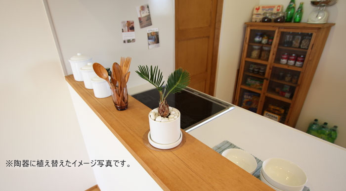 ソテツを陶器に植え替えたイメージ