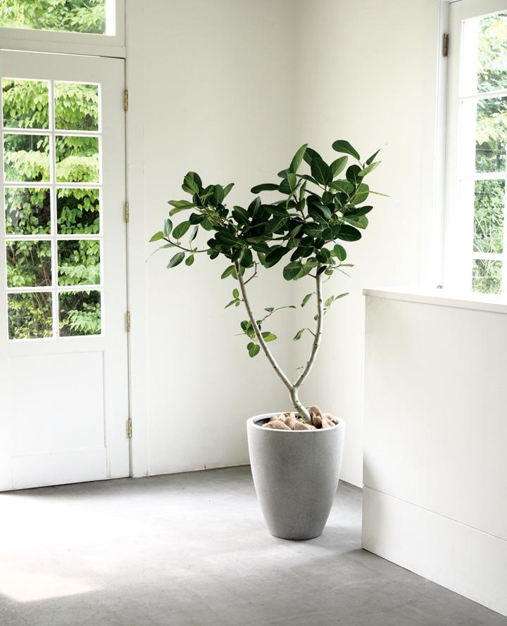 大型の植木鉢にベンガレンシスを入れたイメージ