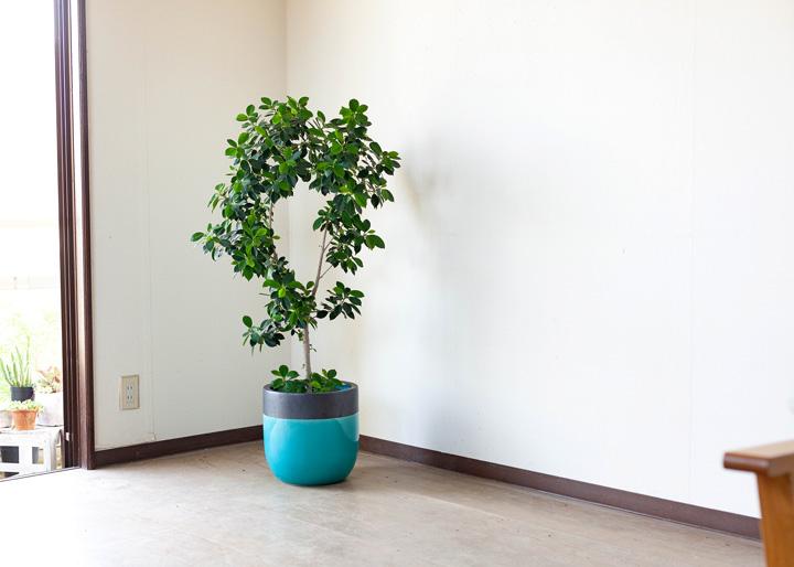 大型の植木鉢にフィカス・バーガンディーを入れたイメージ