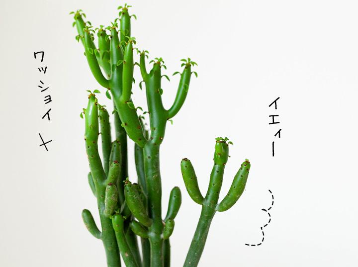 サボテンみたいなオンコクラータの葉