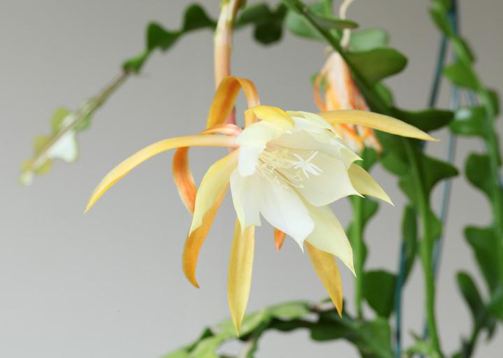 香りが良いフィッシュボーンの花