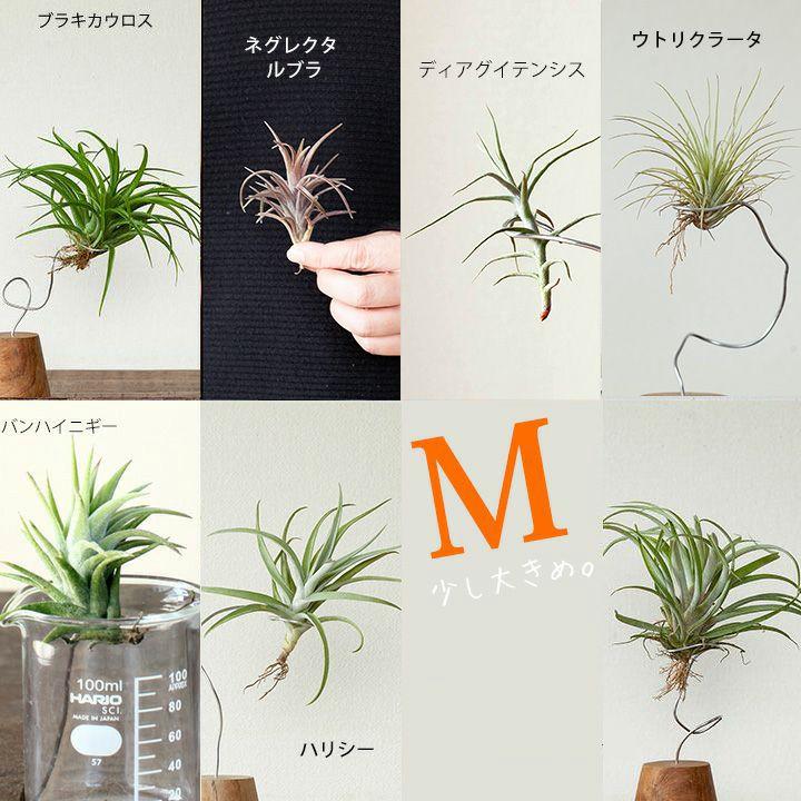 観葉植物のランキング3位
