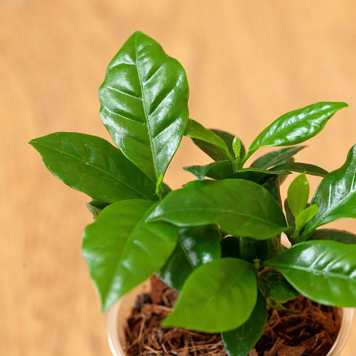 コーヒーの木の葉の写真