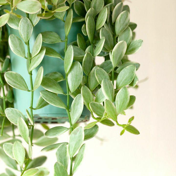 ディスキディア・エメラルドの葉