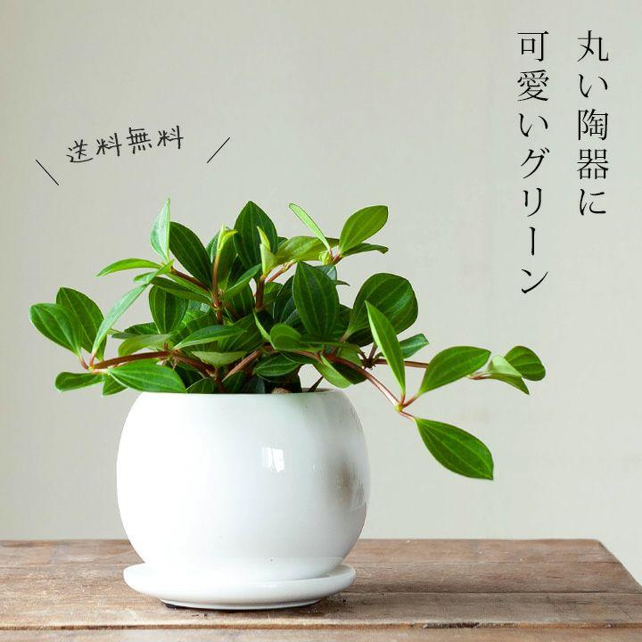 観葉植物のランキング2位