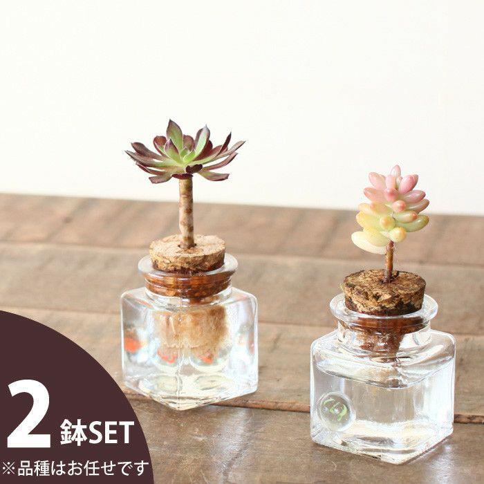 大きめのサボテンがとってもキュート♪水耕栽培サボテン×1【サボテンとガラス瓶のセットです。】