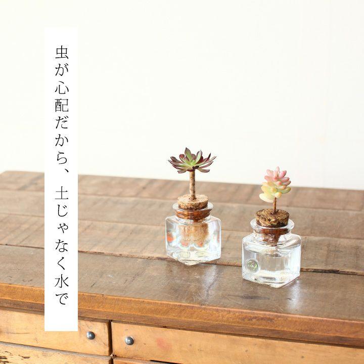 花も咲く、キュートな玉サボテンハマトカクタス竜王丸【hamatocactussetispinus】