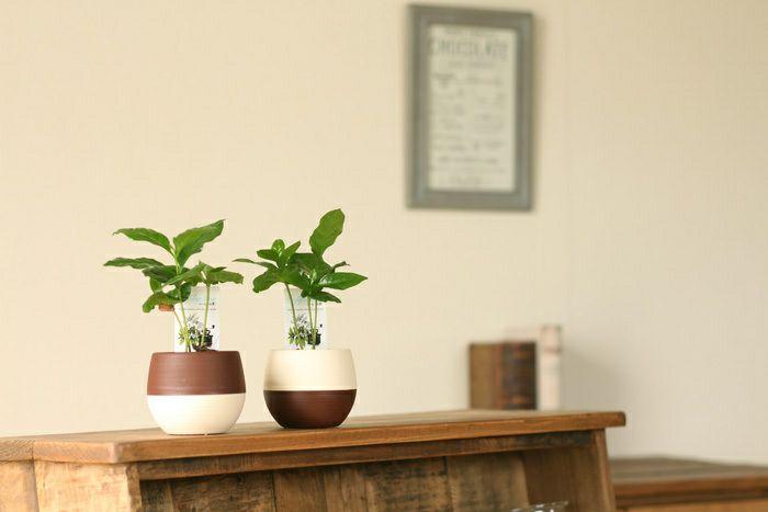デスクの上で、やすらぎのcoffeタイムを。小さな、小さなコーヒーの木※鉢の色はお任せです。
