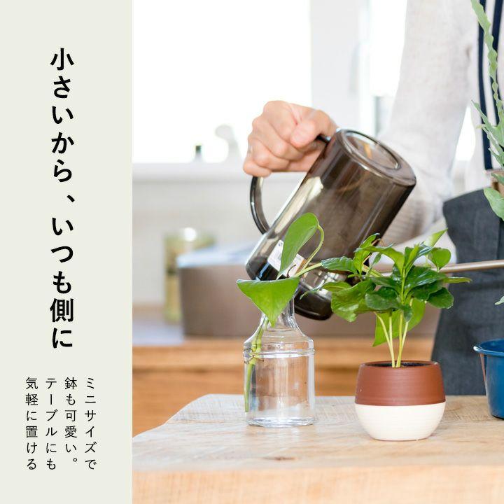 飾りやすいコーヒーの木