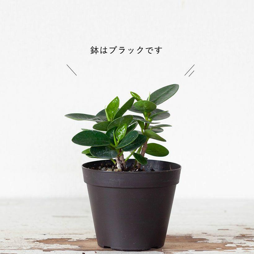 パンダガジュマルを窓際に。光がよく当たる場所が理想です