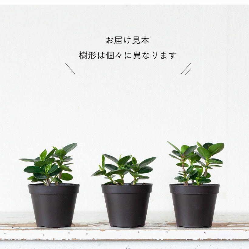 パンダガジュマルの葉の特徴