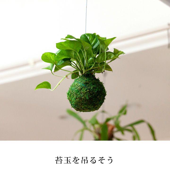 ポトス・グローバルグリーンの苔玉